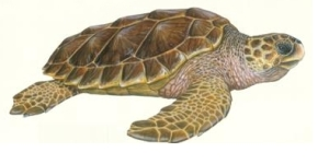 tortue caouanne