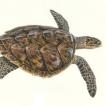 tortue imbriquée