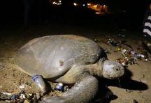 turtle-crossing-garbage
